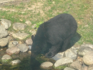 One of the three bear cubs drinking at our garden pond. May 22, 2009