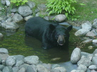 Black bear cooling off in our garden pond in Gaylord Michigan on 07-23-07.