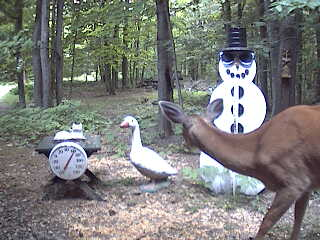 Michigan whitetail deer looking at the snowman.